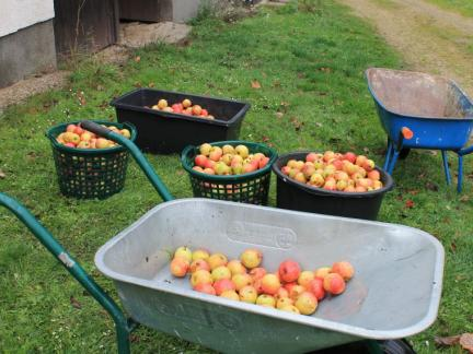 Im November pressen wir zum ersten Mal Apfelsaft.