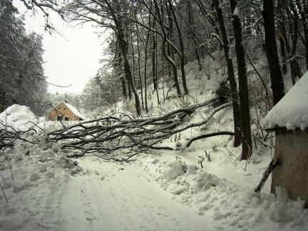 Robinien, vom Schnee niedergedrückt