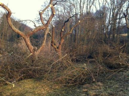 Heftiger Obstbaumschnitt
