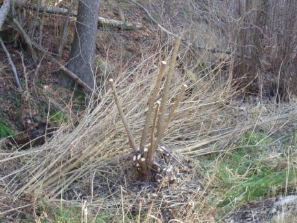 2008 haben wir begonnen, einige Weiden zu stutzen