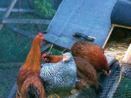 2013 - Die Hühner sind nur schwer ins Nachtquartier zu bekommen