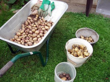 21.7.08, erste Kartoffelernte