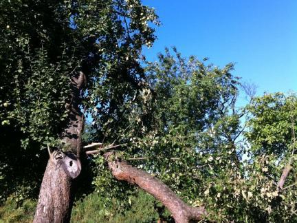 Große Apfelernte und abgebrochener Ast