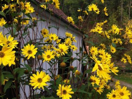 Bauernsonnenblumen