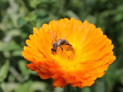Säen, Ausjäten und zuletzt Ernten der Ringelblumen