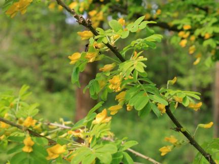 Blüte Erbsstrauch Mai 14