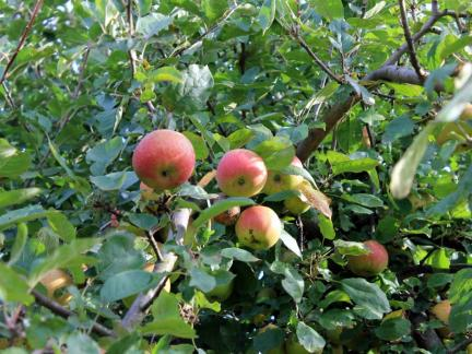 Boskopäpfel (in der Erntezeit)