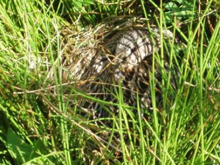 Ente brütet auf der Insel 2006