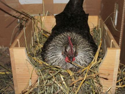 Mitte Mai (2014) wird eine Henne brütig!