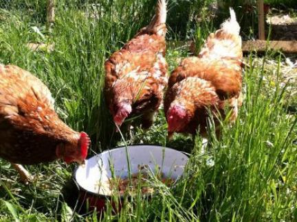 Drei Hühner beim Fressen