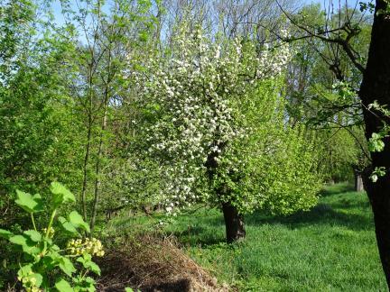 Baumschnitt - Folgen. Blüte nur an manchen Stellen