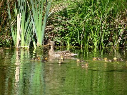 Muttertag Mai: erste Sichtung einer Entenfamilie