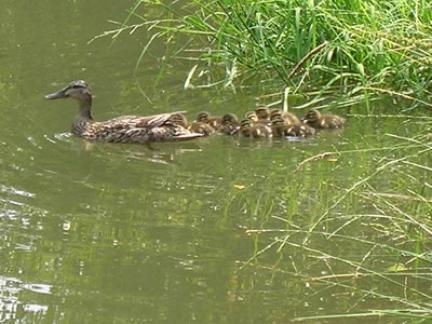 Noch einmal: Ente mit Jungen