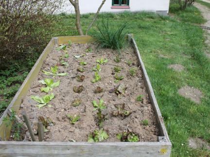 Der erste Salat wird Ende April gesetzt (Reinsaatmarkt! ) !