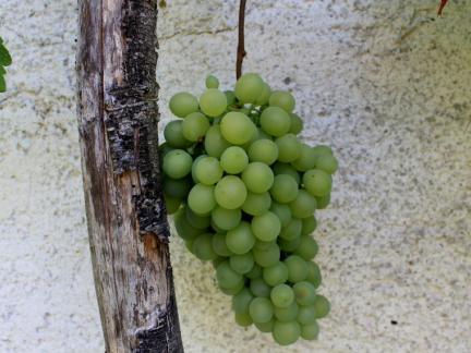 Erste GUTE Weintrauben (2015)