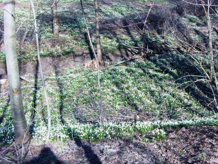 Frühlingsknotenblumen ohne Ende
