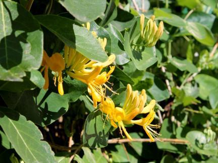 Geißblatt-Blüte