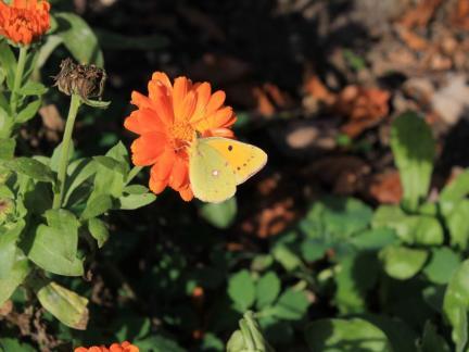 Grüngelber Schmetterling auf Ringelblume