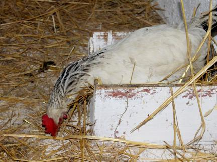 Die Hühner haben uns echt Freude (und Eier) gebracht!