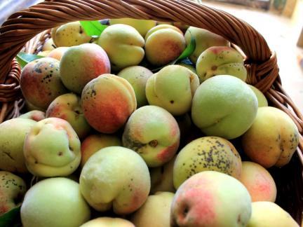 Gute Ernte bei den Weinbergpfirsichen