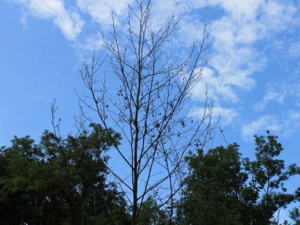 Abgestorbene Bäume fällen
