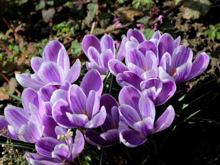 Herrliche Frühlingsboten