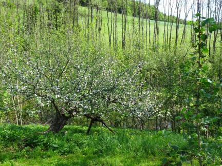Apfelbäume im Mai