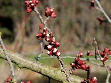 Ende März: die Marillenblüte steht bevor