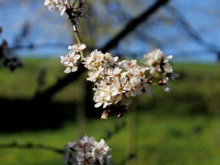 Herrliche Blüte - und später Frost (keine Marillen :( )