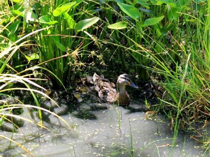 Ente mit Jungen im Biotop (Juni)