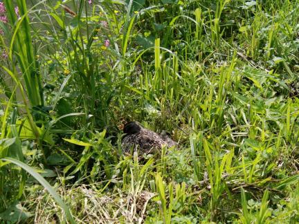 Am oberen Teich brütet eine Ente (Mai)