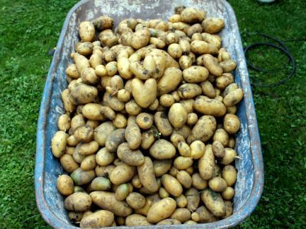 Kartoffelernte 2014