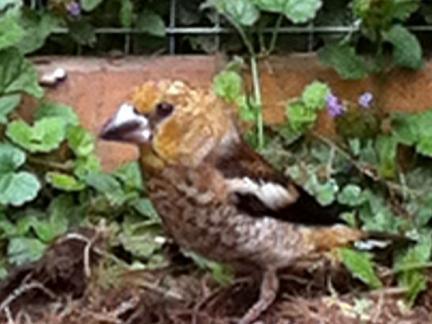 Kernbeißer im Hühnerstall (2012)