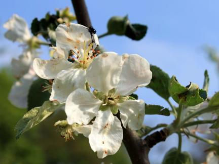 Blüten vom Klarapfel
