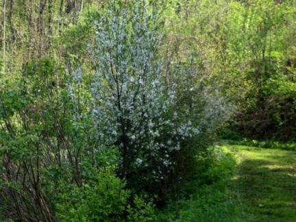Kriecherl- und Schlehenblüte