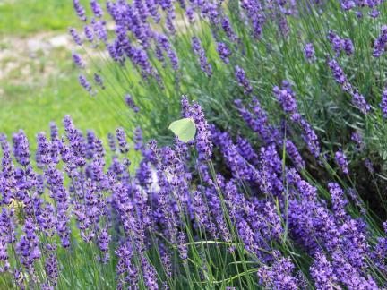 Gelber Schmetterling auf Lavendel