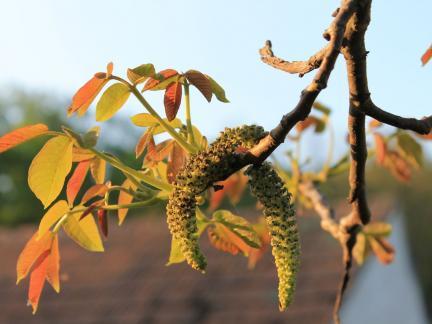 Nussbaum, erste Blätter und Blüten