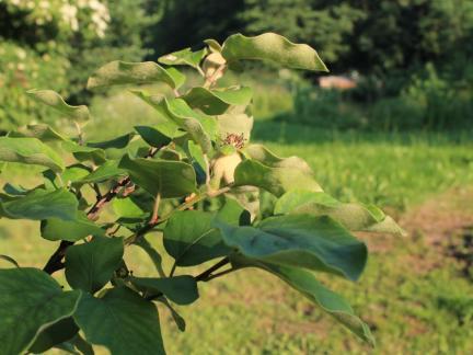 Baum mit noch kleinen Quitten 2013