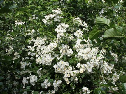 Weiße Ramblerrose