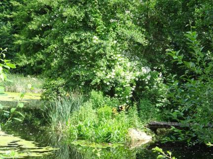 Ramblerrose (Insel)