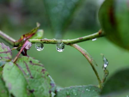 Regentropfen auf Rosenast
