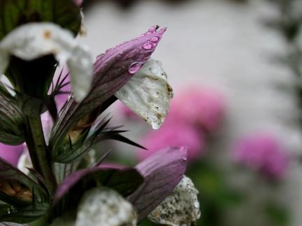 Regentropfen auf Acanthus