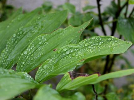 Regentropfen auf Aaronstab