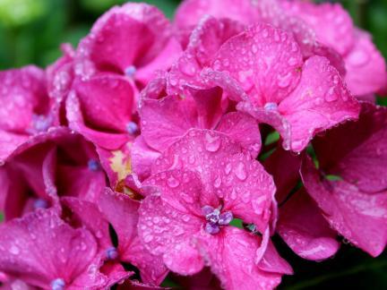 Regentropfen auf Hortensie
