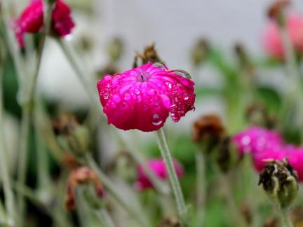 Regentropfen auf Vexiernelke