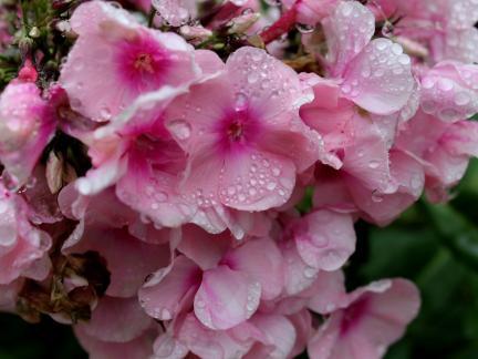 Regentropfen auf Phlox