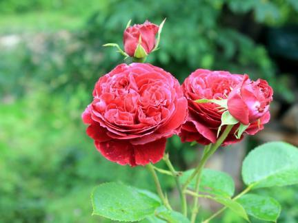 Rose bei Brücke