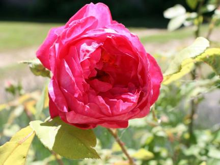 """""""Benjamin Britten"""" (David Austin) (Hauseingang)"""