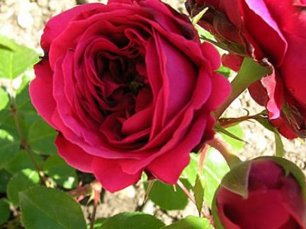 Rose Leonardo