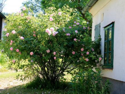 Der tollste Rosenjuni ever! Der argen Trockenheit zum Trotz!